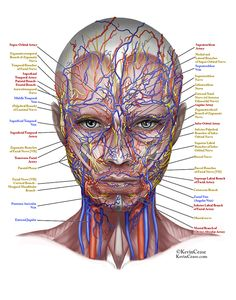Illustration of the female face: vessles and nerves