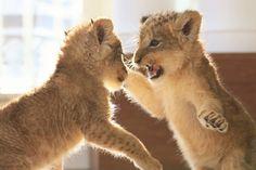埋め込み Crazy Cat Lady, Crazy Cats, Big Cats, Cute Cats, Animals And Pets, Funny Animals, Cute Animals, Gato Grande, Baby Animals Super Cute