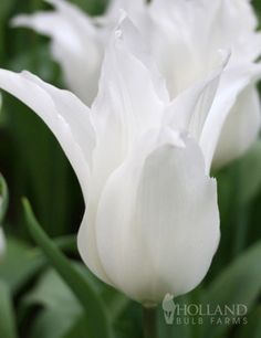 Sapporo Lily Flowering Tulip from hollandbulbfarms.com