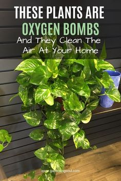 Are Oxygen Bombs And They Clean The Air At Your Home Here are the 10 most effective plants that cleanse the air from pollutants!Here are the 10 most effective plants that cleanse the air from pollutants! Container Gardening, Gardening Tips, Indoor Gardening, Organic Gardening, Dulux Valentine, Household Plants, Household Cleaners, Best Indoor Plants, Indoor Plants Clean Air