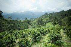 Imagen de un cultivo de café en el Paisaje Cultural Cafetero