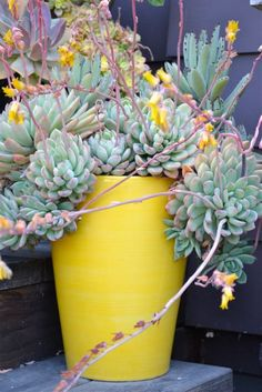 sedum with pot the same color as the bloom! I like the idea of matching a planter to the bloom's color