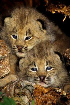 Canada Lynx kittens  (copyright: Daniel J. Cox)