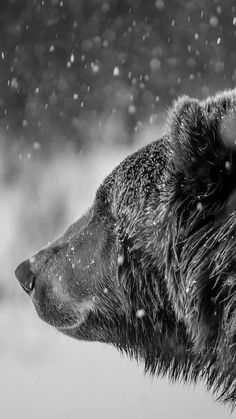 Brown bear / animal photography pictures and photos / black and white