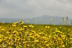 Meskel flowers. A sign of Ethiopian New Year. According to the Ethiopian calendar, it turned 2005 this week.