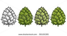 Hop set green organic herb plant used in the brewery of beer. For labels and packaging. Vector engraved illustration. Hand drawn Isolated on white background