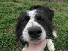 Meet Ridley, a Petfinder adoptable Border Collie Dog | Richmond, VA | Hi! I'm Ridley and I'm one lucky dog!I'm a 3 year old border collie that managed to escape a very...