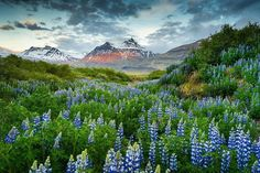 Lost in Lupines, Iceland