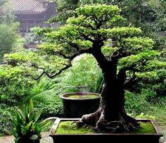 Japan - Bonsai