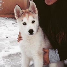 Bolo the stunning husky pup! Owner tagged
