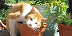 Perché ai gatti piace l'erba gatta e come coltivarla in casa per avere una scorta a disposizione tutto l'anno e far felice il micio.