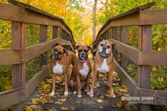 My three boxer dogs, enjoying the Michigan fall. I've been wanting this photo for a long time, finally made it happen this year.