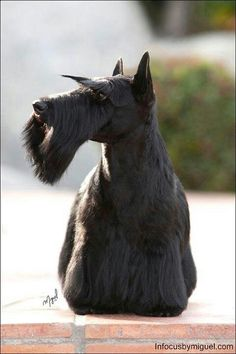 Scottie http://bowwowtimes.com/2015/07/20-reasons-scottish-terriers-truly-are-one-of-the-best-breeds-ever/ - #yuki #yukituristainsolita #dog #scottishterrier#wheatscottie #cachorro  #cachorroetudodebom #catioro #terrierescoces #cachorroétudodebom #dogsofinstagram #doglover #dogs_of_instagram #puppylove #puppygram #scotties #terrier #scottishterriersofinstagram #puppiesofinstagram #scottielove #scottielove #scottish_terrier #scottielovers #scottieobsessed #scottiegram #scottishterribles…