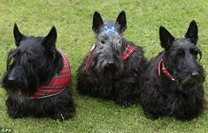 Cute: The royal couple were also shown a trio of Scottish Terriers, including the patrioti...