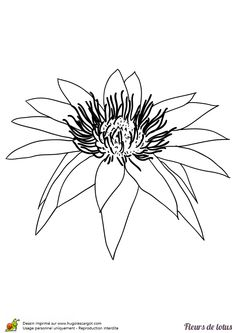 Une simple fleur de lotus, à colorier