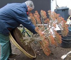 The famous Japanese Maple by Walter Pall - The story of this tree on Bonsai Empire