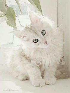 Pretty white kitty http://www.mainecoonguide.com/
