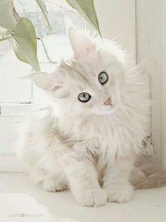 Pretty white kitty