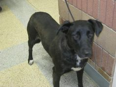 ZINDIE-ID#A726210  My name is ZINDIE.  I am a female, black and white Labrador Retriever mix.  The shelter staff think I am about 2 years and 6 months old.  I have been at the shelter since Jul 05, 2013.