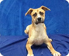 Carthage, NC - Boxer/Hound (Unknown Type) Mix. Meet Speck, a dog for adoption. http://www.adoptapet.com/pet/11563207-carthage-north-carolina-boxer-mix