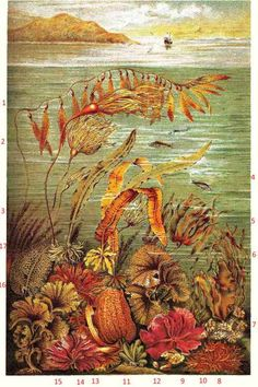 dabberlocks or Winged kelp or alaria escalenta