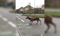 Rennes: le cerf qui déambulait dans la ville est mort