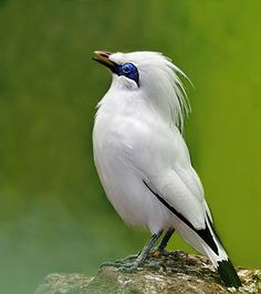 """PROTECT THEM! Bali Myna (Leucopsar rothschildi) -- this is my favorite bird, they even have the ability to mimic human speech. """"Here and now boys, HERE & NOW! Most Beautiful Birds, Pretty Birds, Love Birds, Small Birds, Colorful Birds, Vogel Gif, Kinds Of Birds, Mundo Animal, Bird Pictures"""