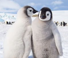 Two penguin chicks play in AntarcticaPicture: David C Schultz/Barcroft Media