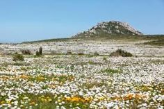 wildflowers in south africa - Google Search