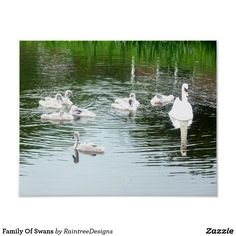 Family Of Swans Poster - photographer gifts business diy cyo personalize unique Poster Photography, Photographer Gifts, Artwork Pictures, Swans, Custom Posters, Custom Framing, Vibrant, Family Gifts, Nature