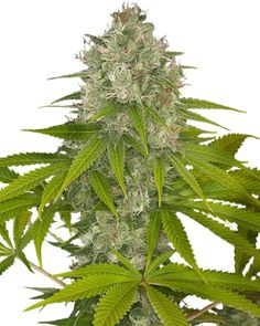45 Best Growers Choice Seeds Promo Codes images in 2019