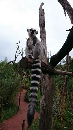 Lemurs, Outdoor Playground, Natural Wonders, Animal Kingdom, Cute Animals, Bear, Nature, Animaux, Pretty Animals