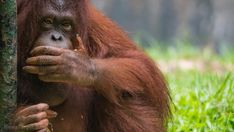 awesome Orangutans discovered to be herbal medicine geniuses who manufacture their own healing ointments using forest plants