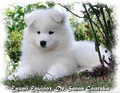 Photo de Yumi, chien Samoyède - 123101