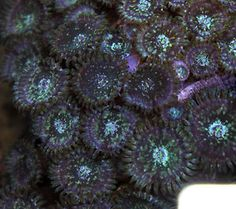 rare large polyp yellow gold supranos paly zoa zoas coral frag on plug 2 heads