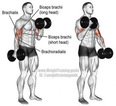 An isolation exercise. Synergists: Brachialis, and Brachioradialis. Few exercises are as popular as the dumbbell curl! Use it to build and strengthen your biceps brachii, brachialis, and brachioradialis. Dumbbell Bicep Workout, Forearm Workout, Dumbbell Exercises, Chest Workouts, Fun Workouts, Chest Exercises, Fitness Workouts, Shoulder Training, Big Biceps