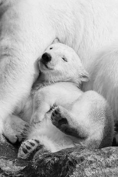 A sleeping polar bear cub cuddling up with its mother.