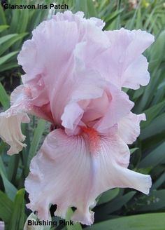 bride Blushing bride may refer to: Iris Flowers, Types Of Flowers, Exotic Flowers, Real Flowers, Planting Flowers, Beautiful Flowers, Iris Garden, Lawn And Garden, Belle Plante