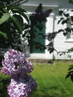Lilacs in Maine