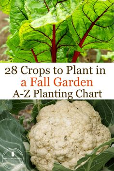 Harvest fresh vegetables all fall and winter without a greenhouse with this easy guide. Full alphabetical planting chart with dates for everything you can plant for fall crops. #fallgarden #organicgardening #veggiegarden
