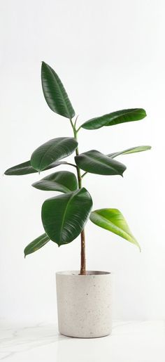 The Rubber Plant (Ficus Elastica) - The Jungle London Indoor Plants Green Plants, Potted Plants, Herb Plants, Flowering Plants, Indoor Succulents, Water Plants, Tropical Plants, Planet Decor, Plantas Indoor