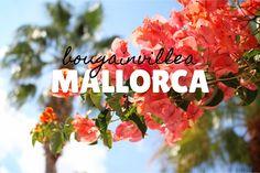 Bougainvillea – Mallorca