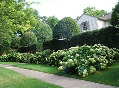 Classic Incrediball Hydrangea have a lovely shape and boast plenty of foliage. Plus, they're dead easy to grow, with hardy stems and blooms that last into September.