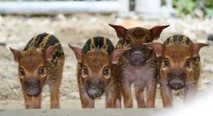 Four new Red River Hog piglets were born at the Kansas City Zoo on April they made their public debut on May at just 17 days old. Newborn Animals, Baby Animals, Cute Animals, Animal Babies, Red River Hog, Kansas City Zoo, Fuzzy Wuzzy, Indoor Pets, Cute Pigs