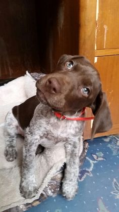 German shorthaired pointer puppy confusion head tilt