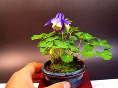 Bonsai Accent Plant 35
