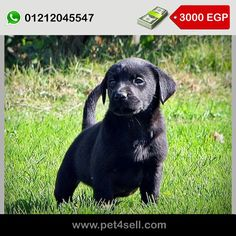 labrador puppies for sale .. Champion bloodline … Fully vaccinated, reasonable prices… جراوي لبرادور للبيع شامبيون بلود لين مطعمين العمر ٤٥ يوم Giza #pet4sell
