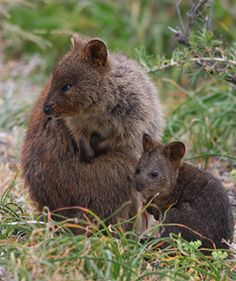 Even though I live in Perth I can't help pinning more pictures of quokkas from Rottnest Island, Western Australia (just a short boat trip away). Here is mom and baby.