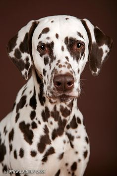 Dalmatian. Liver colored. I had one of these once. Her name was Maggie. <3