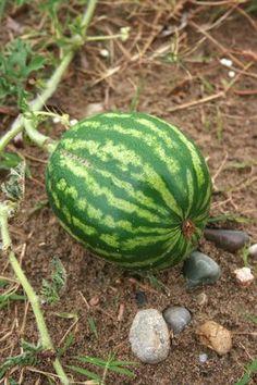 Watermelon, Garden Design, Flora, Health, Plants, Gardening, Karma, Google Search, Lawn And Garden